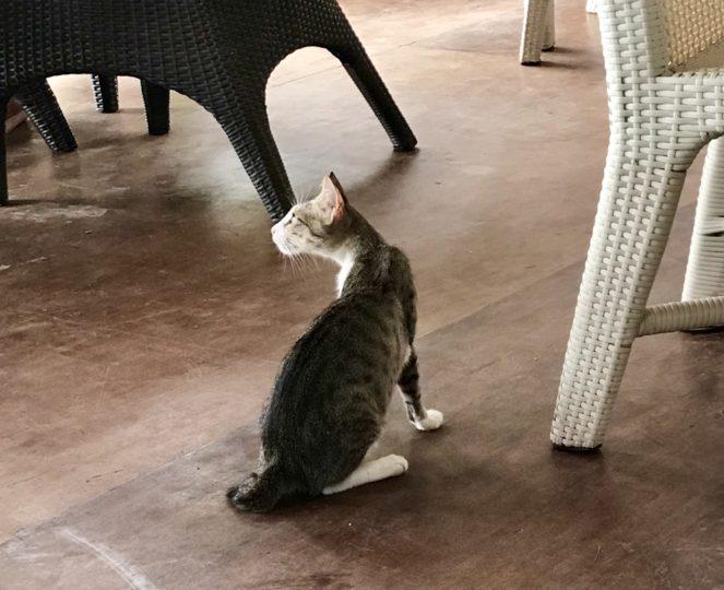 2018cebu_Moal Boal「ランタウ」店内の猫