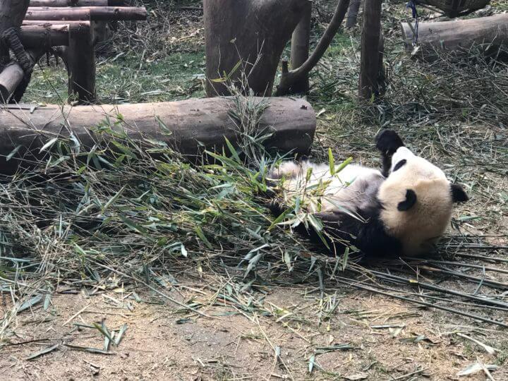 2018成都 パンダ 笹を食べる
